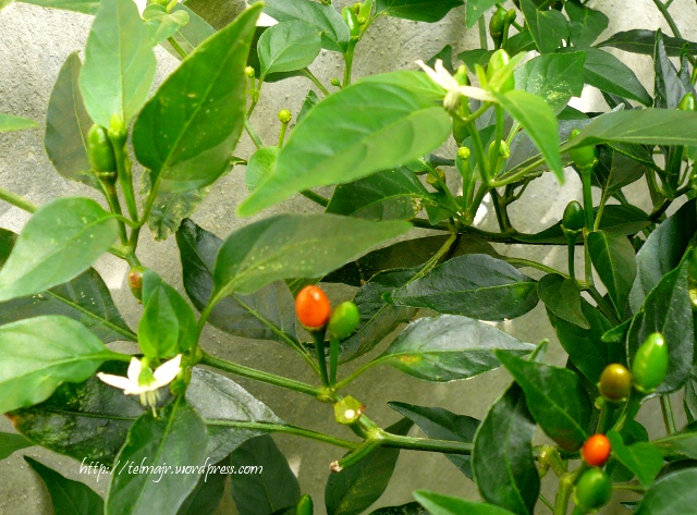 Plantas medicinales espacio de telma p gina 5 for Planta de chile